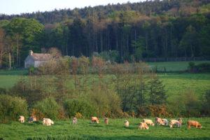 Le Val de Saire et ses paysages de bocage normand - vaches - Cotentin - Manche -Normandie @C.DUTEURTRE